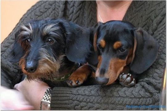 Two Doxies Are Better Than One Doxie Puppies Wire Haired