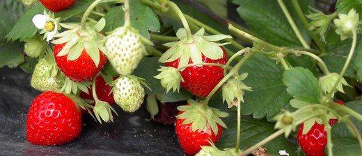 fraisiers comment planter pailler et entretenir un fraisier fraisier jardinage et jardins. Black Bedroom Furniture Sets. Home Design Ideas