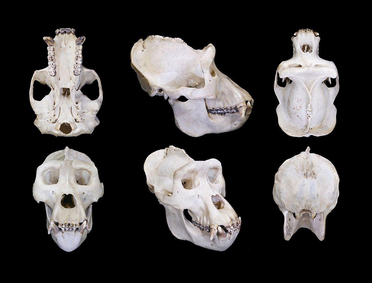 Gorilla Male Global - Western lowland gorilla - Wikipedia, the free ...