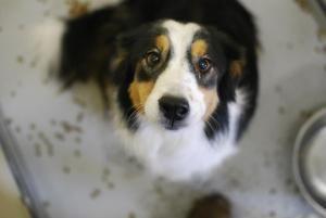 Adopt Nix On Dog Sounds Border Collie Dog Collie Dog