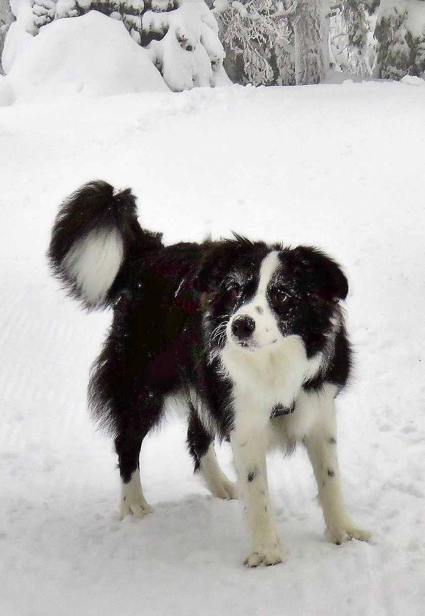 Pin By Stig Hedberg On Human S Best Friend Border Collie