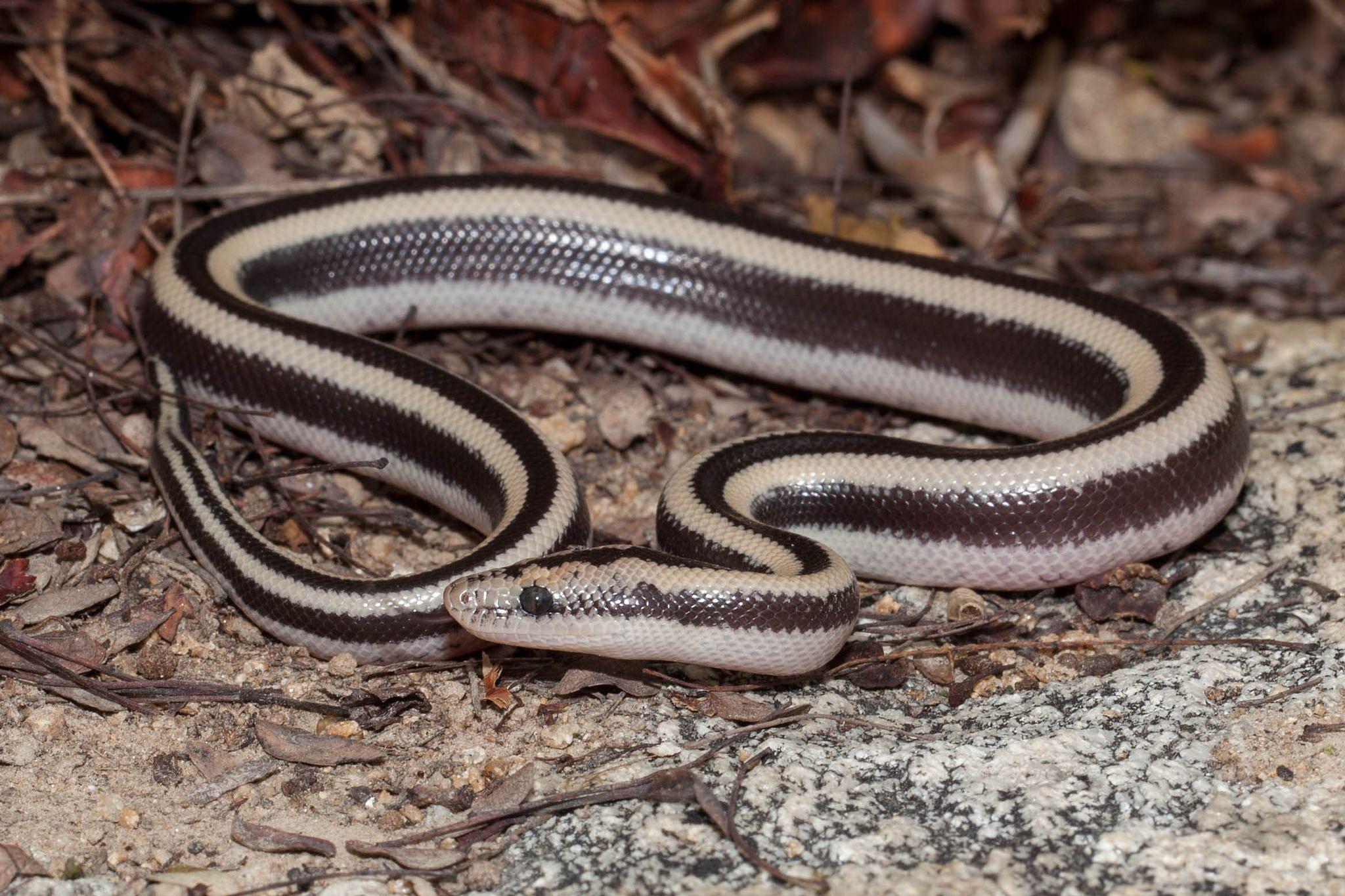 Lichanura trivirgata [Rosy Boa] Rosy boa, Boas, Snake