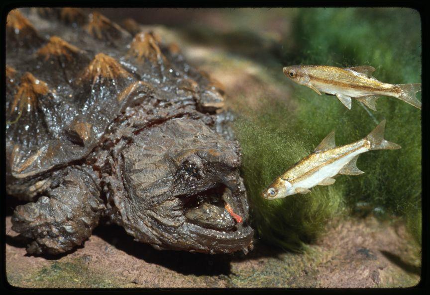 alligator snappening turtle prey and predator relationship