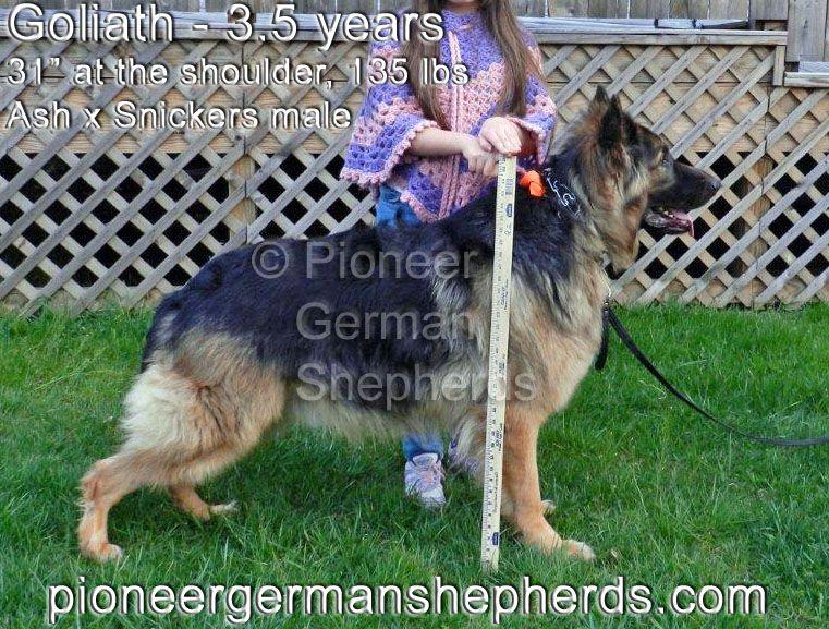 Large German Shepherd Goliath Pioneershepherds Com Large