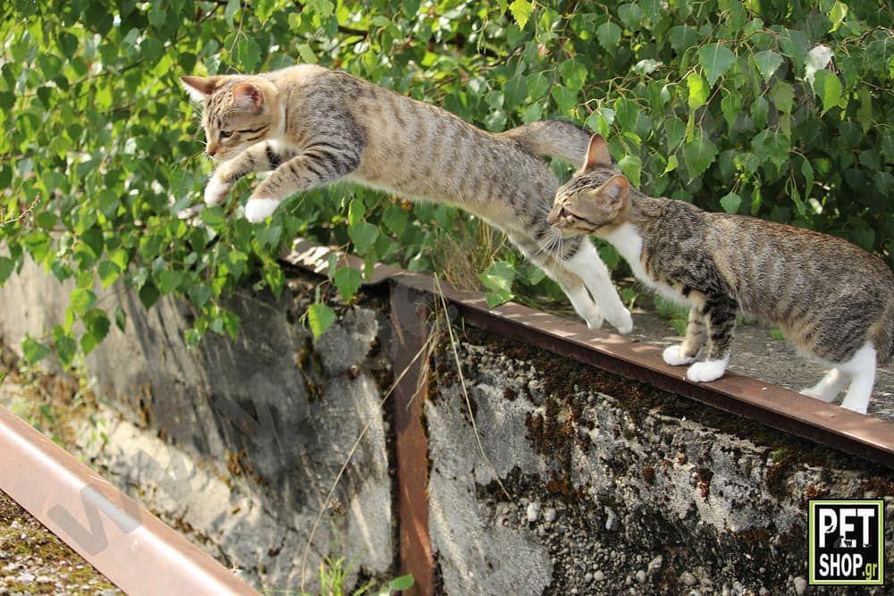 Πετάω! -->www.petshop.gr<-- . . Follow us: @houseofpetsxatzopoulos . . #cat #cats #kitten #catstagram #instacat #pet #pets #catlovers #catoftheday #cutecat #catsofinstagram #loveanimals #lovecats #lovepets #gata #gataki #katoikidia #γατα #κατοικιδια #houseofpets #petgrooming #petshopgreece #petshop #pet_shop_gr