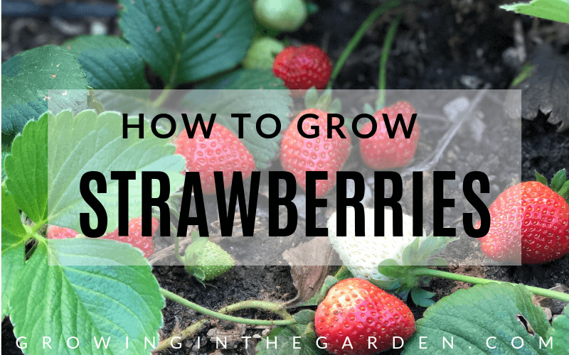 How To Grow Strawberries In 2020 Growing Strawberries Fall Vegetables To Plant Strawberry
