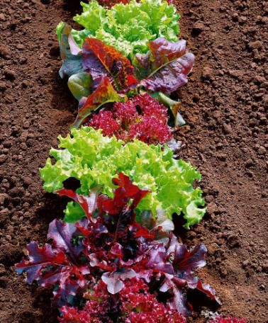 Mixed Lettuce Seed Tape This tape is perfect for sowing a straight line of mixed lettuces (Lactuca sativa). No thinning required. You can also harvest more than once if you don't cut too deep. The seed tape of 7.5 m long is easily cut to the desired length.
