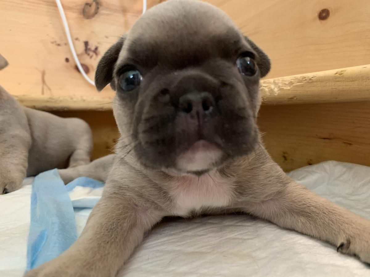 Akc Blue Fawns Carry Tan And Cream Fawn French Bulldog