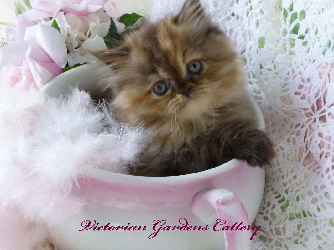 Chocolate Tortoiseshell Persian kitten for sale. Persian