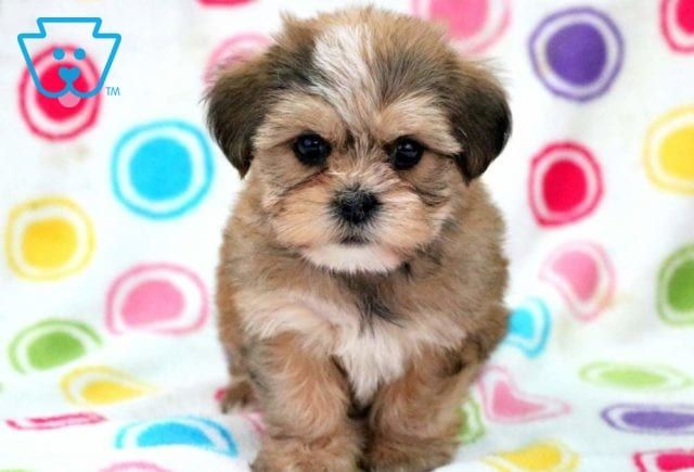 Ellis Zvirata Shorkie Puppies Cute Puppy Breeds A Puppies