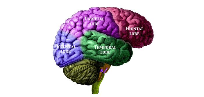 New alzheimers related memory disorder identified alzheimers labeled lobes of the brain study guide for the parts of the brain ccuart Image collections