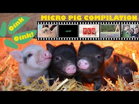 Oink, Oink, Best Ever Micro Pig Compilation Video - YouTube