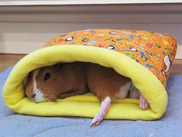 Such A Cozy Place Cochon D Inde Guinea Pig Pinterest Cochons