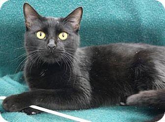 Blackwood Nj Domestic Shorthair Meet Mayfair A Cat For Adoption Http Www Adoptapet Com Pet 12229896 Blackwood New Jer Cat Adoption Kitten Adoption Pets