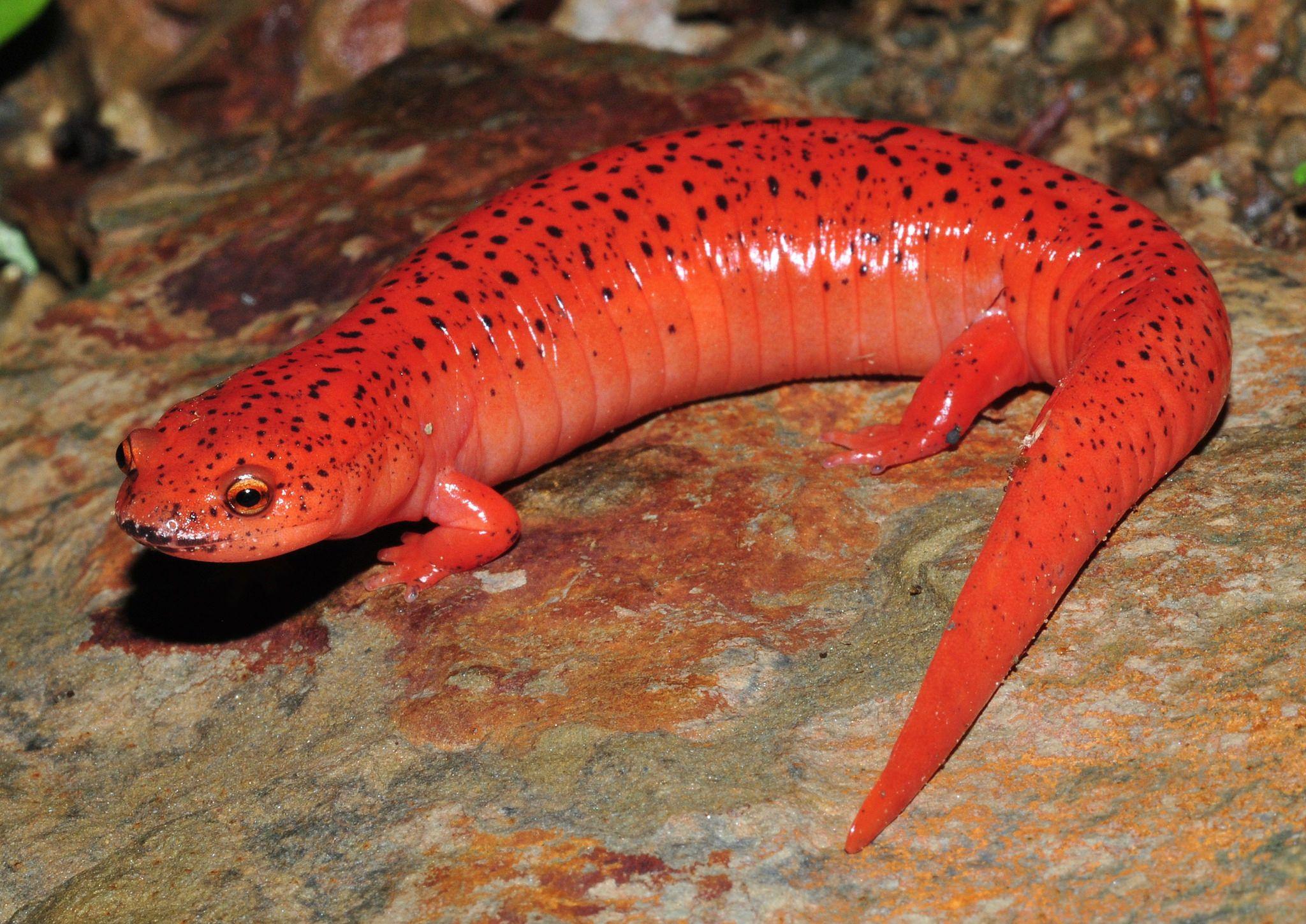 https://flic.kr/p/U6Gc35 | Blue Ridge Red Salamander - Pseudotriton ruber nitidus