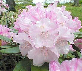 R Pink Parasol 15 Degrees Rhododendron Plant Beautiful