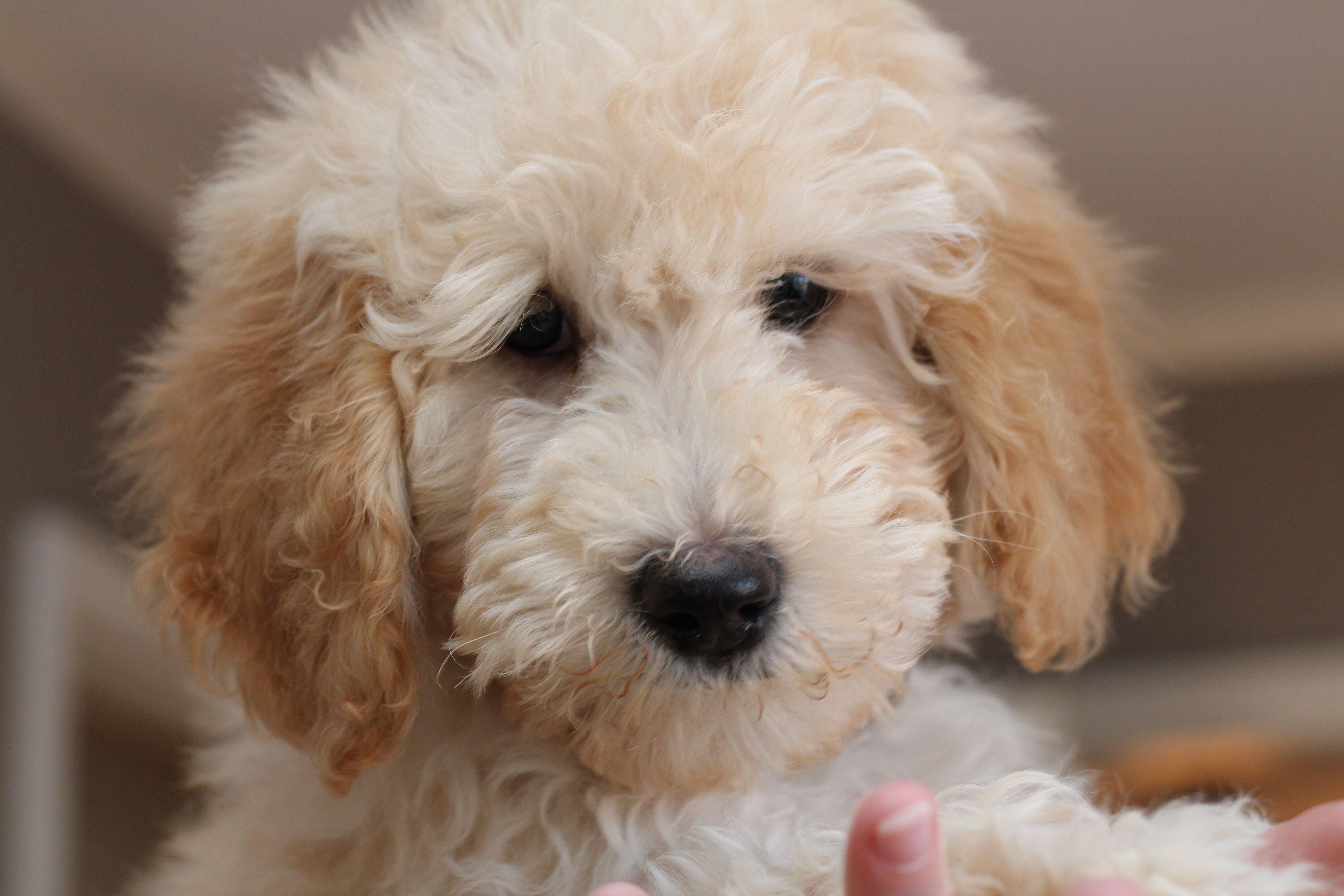 Goldendoodle Goldendoodle Goldendoodle Puppy Mini Doodle
