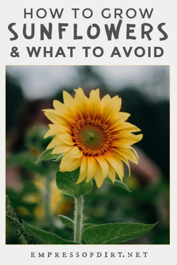 How to grow sunflowers - best location and planting companions and what to avoid.