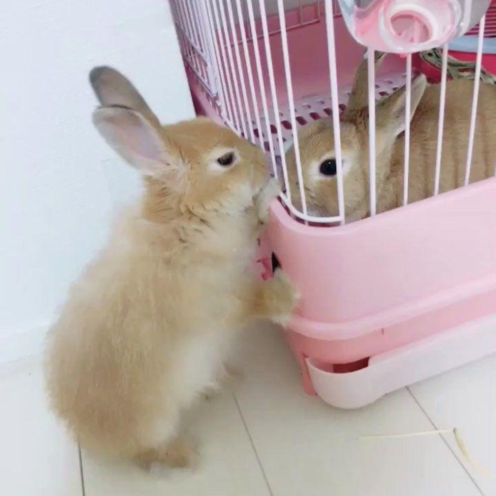 2年前 ふわちゃんも2歳かぁ 早いなぁ ベビの時は毛玉みたいだったな おっきくなったね うさぎ うさぎのいる生活 うさぎ部 うさぎのいる暮らし ファジー Rabbit Rabbitsofinstagram ネザーランドドワーフ ふわもこ部 うさぎ 可愛い 動物 ウサギ
