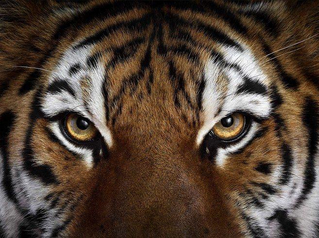 Brad Wilson makes stunning studio portraits that capture the likeness of wild animals in beautiful detail.