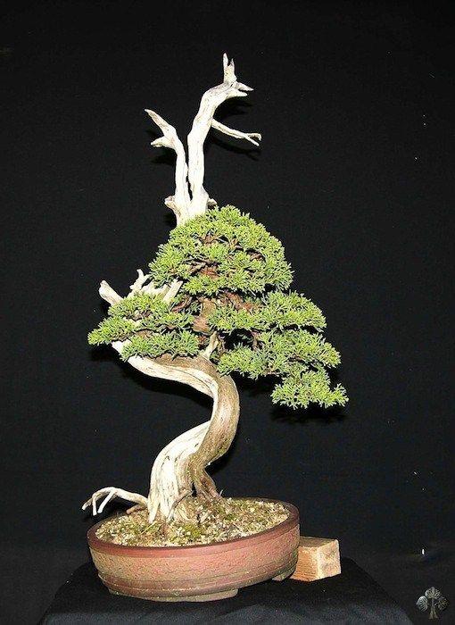 Juniperus Chinensis bonsai