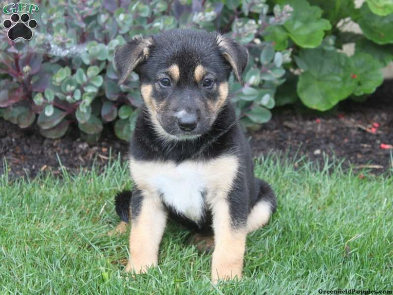 Nicole German Shepherd Mix Puppy For Sale From Oxford Pa