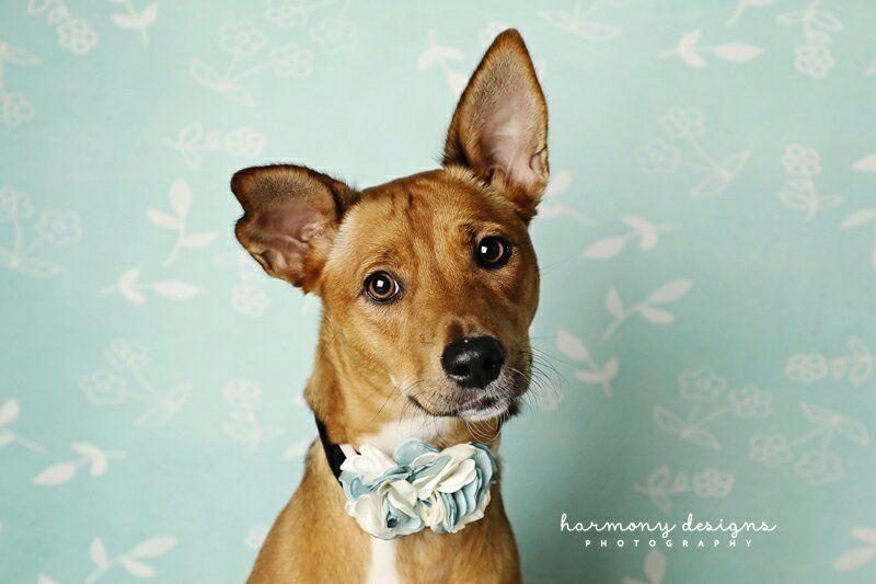 Adopt stella rose on petfinder dog adoption stella rose