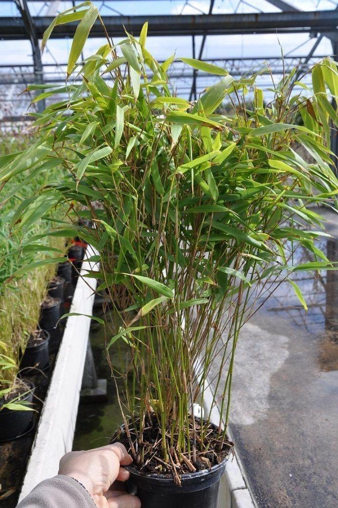 Bambus (Heckenbambus Rufa) 3 Liter Gräser im garten