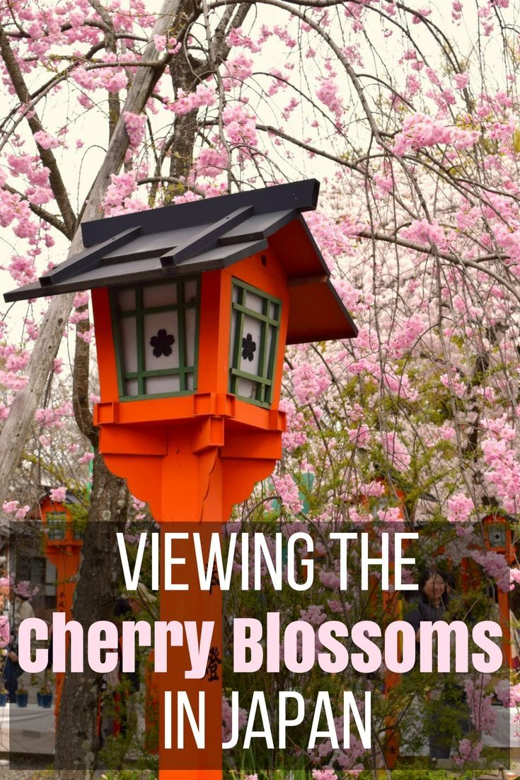 A Sakura Celebration Viewing The Cherry Blossoms In Japan Kitty To City Japan Spring Travel Destinations Cherry Blossom Japan