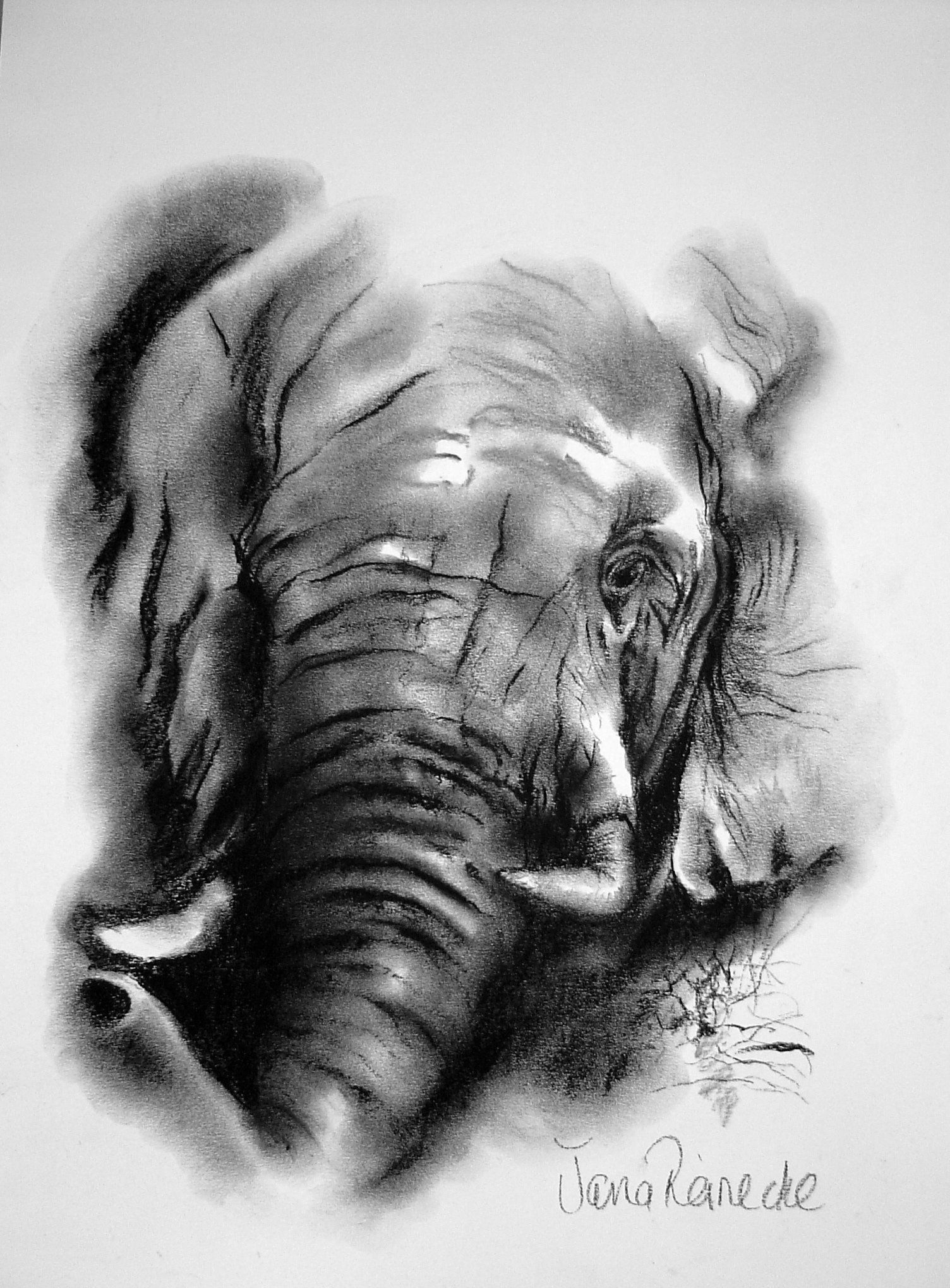 Elephant Charcoal Drawing Charcoal Drawing Portrait Drawing Drawings