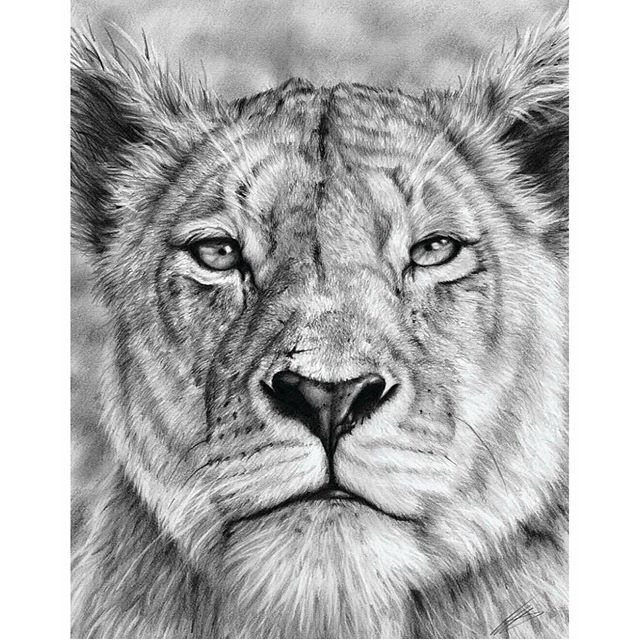 Lioness Images Drawing...