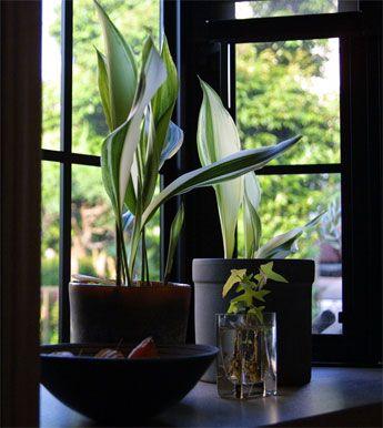 Schusterpalmen Badezimmerpflanzen Pflanzen Coole Pflanzen