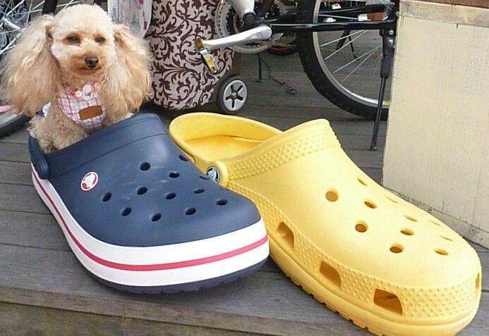 poodle in crocs ? I'm HAPPY poodle