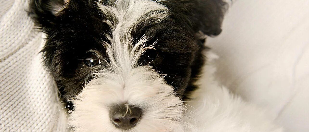 Schnoodle Puppies For Sale Feathers and Fleece Farm in