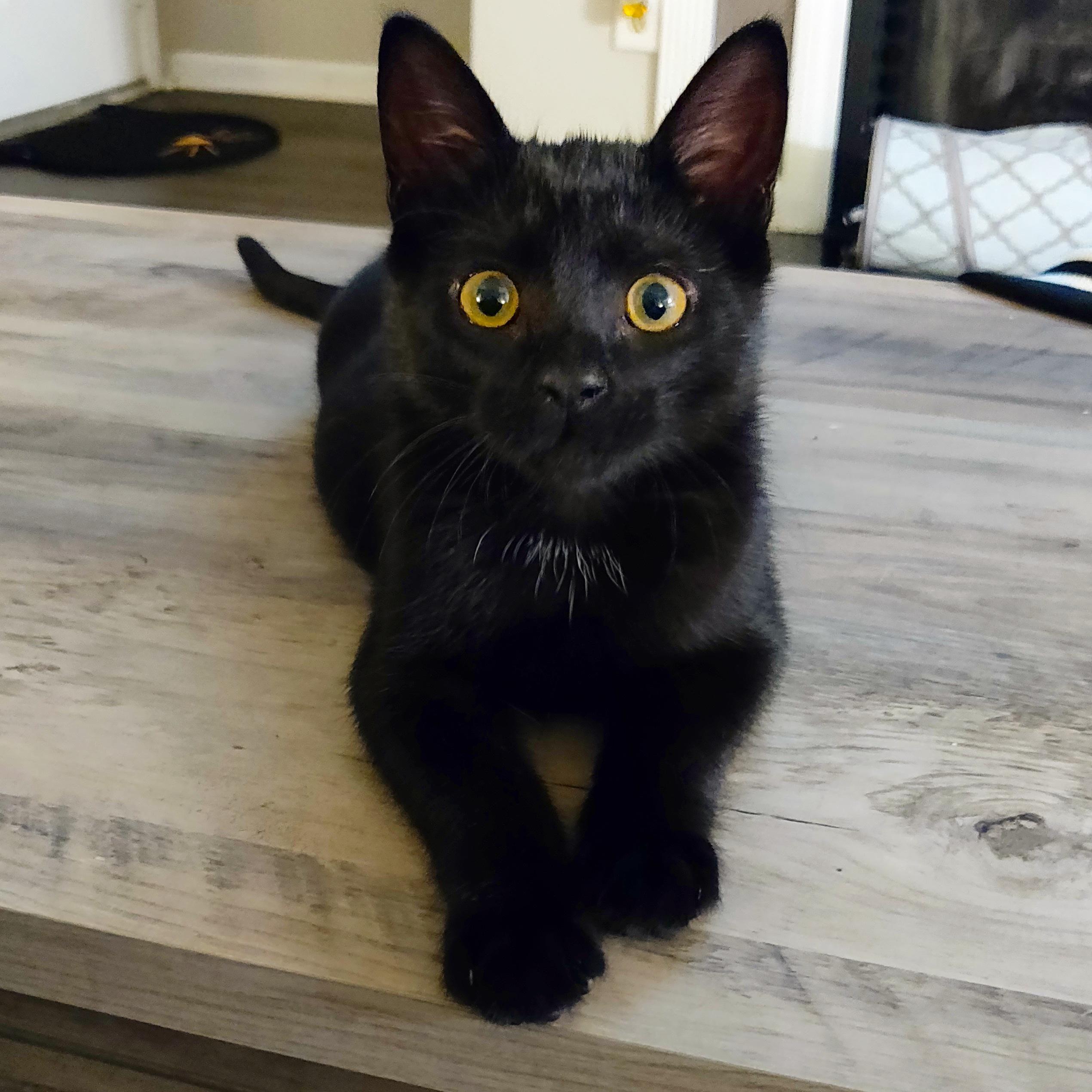 My Kitten Batz Cute Black Kitten Cats And Kittens I Love Cats
