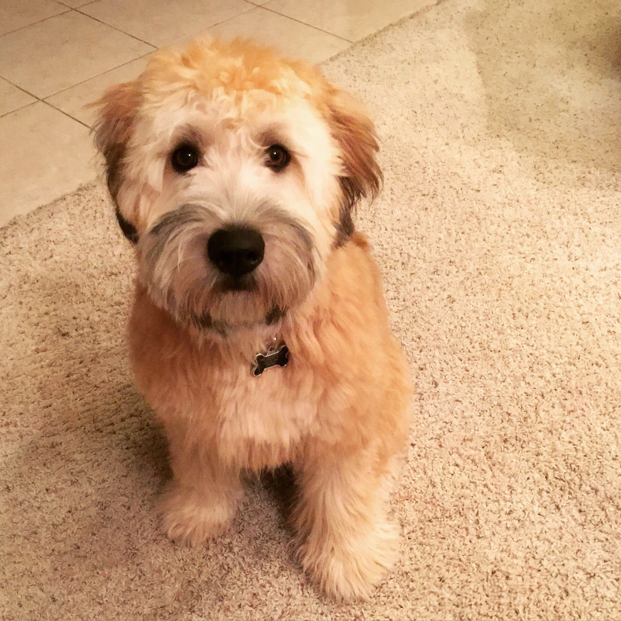 Wheaten Terrier With A Fresh Haircut And Bath It Doesnt Get Much