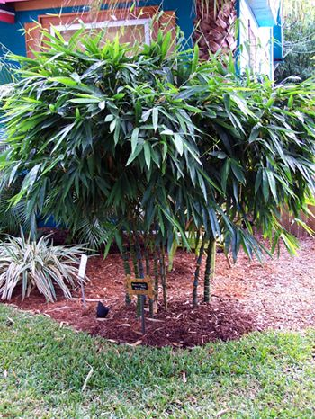 Remarkable Dwarf Buddha Belly Bamboo Grow In Large Containers Interior Design Ideas Oteneahmetsinanyavuzinfo