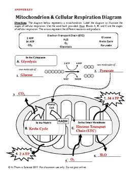 Mitochondrion cellular respiration diagram worksheet pinterest mitochondrion cellular respiration diagram worksheet ccuart Gallery