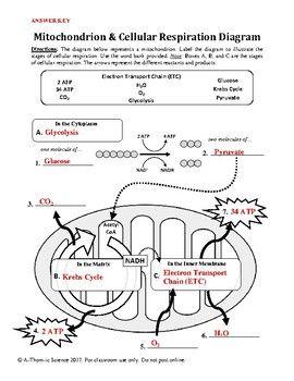 Mitochondrion & Cellular Respiration Diagram Worksheet | Biology ...