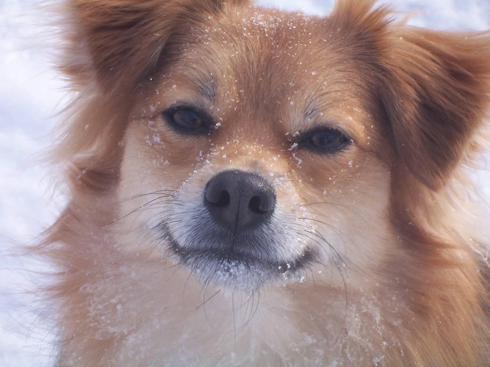 Aussie Pom Baylor Doggy Dogs Corgi