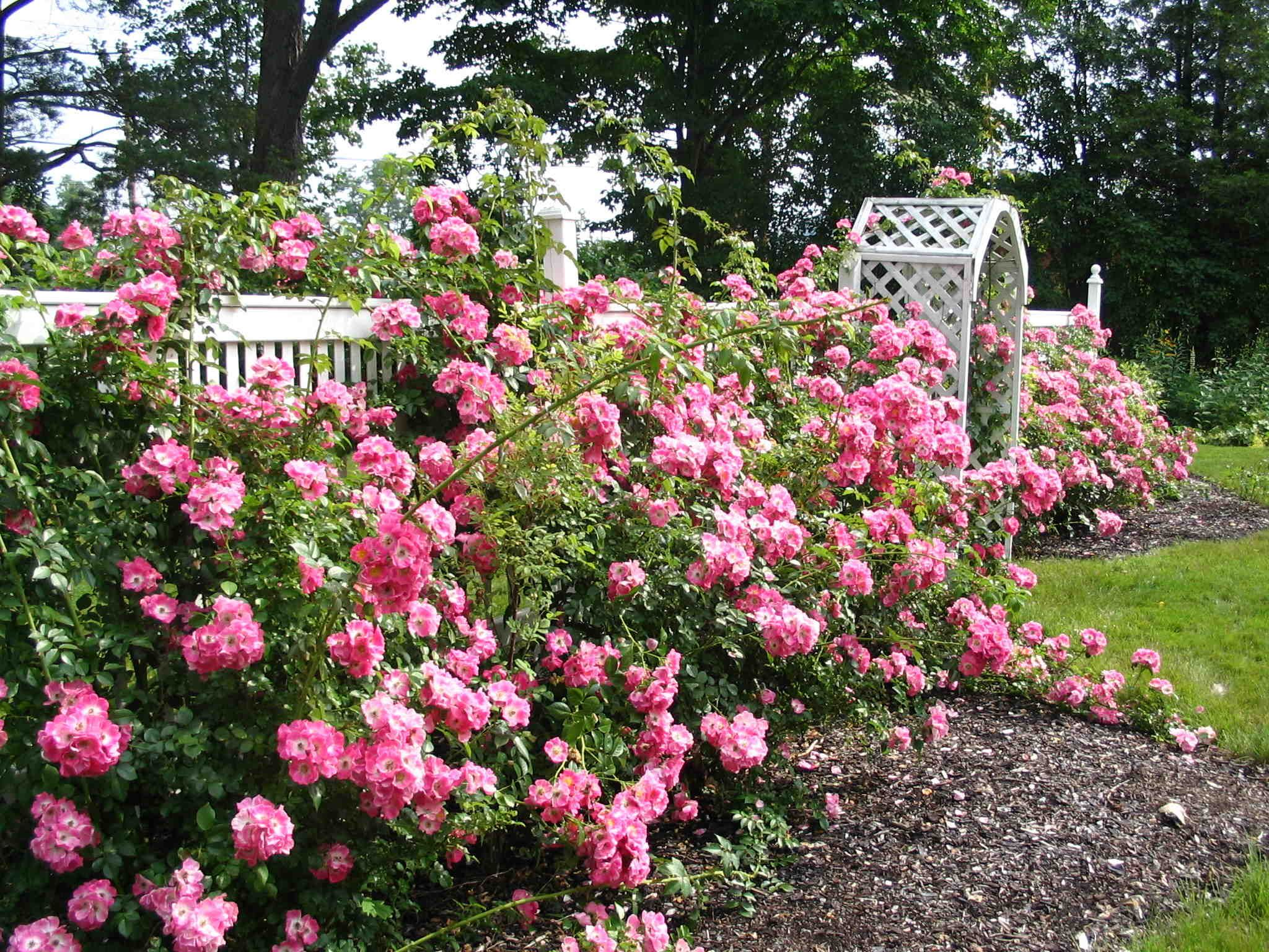 Creating A Rose Garden To Make Your House Smell Fresh Home Wallpaper