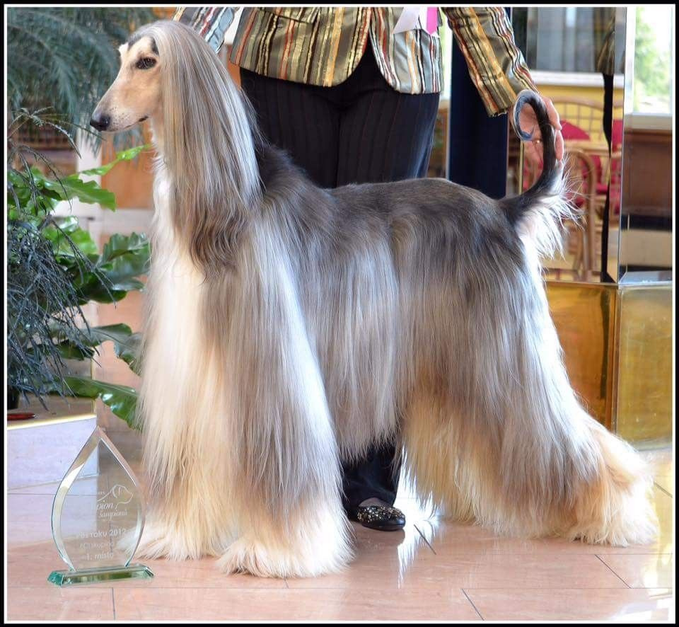 Domino With Images Afghan Hound Hound Breeds Hound Dog
