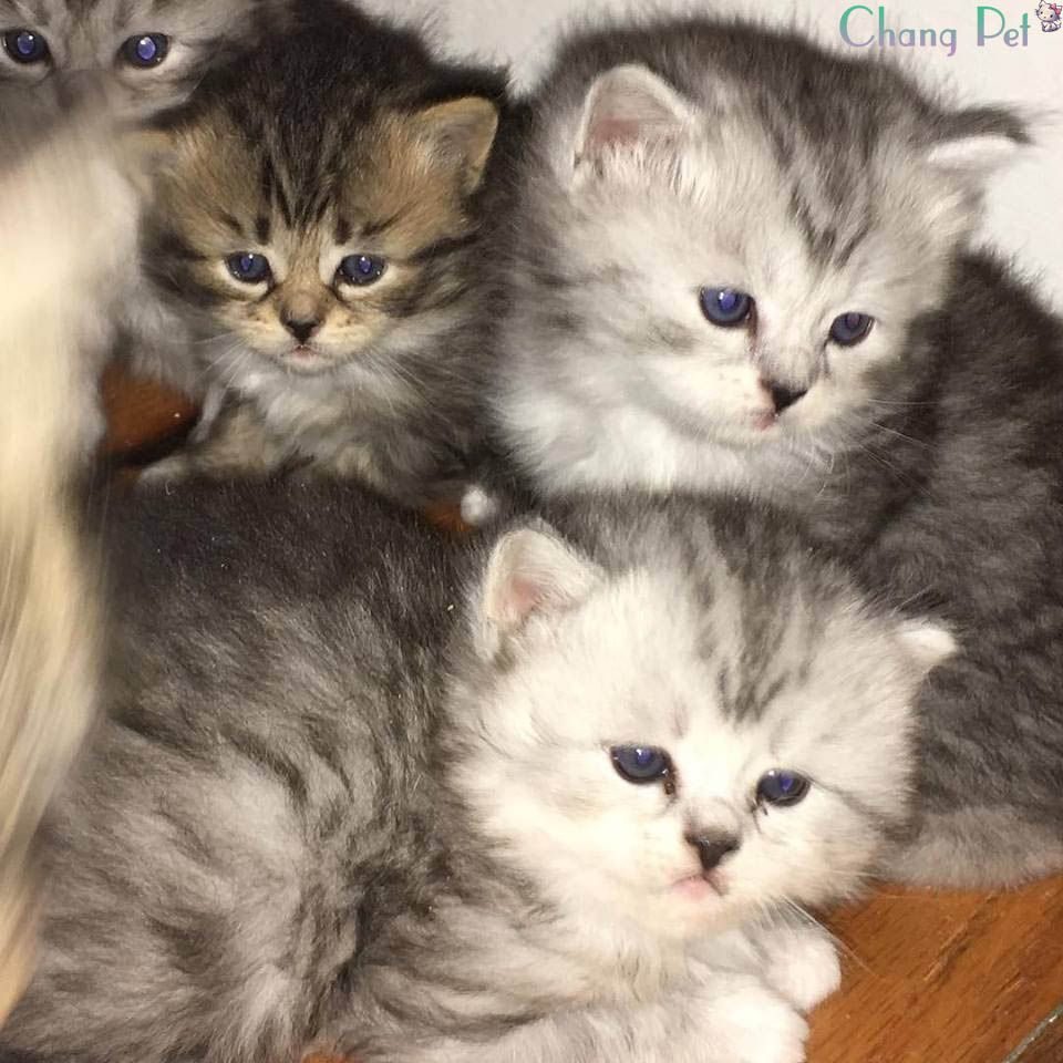 Siberian 29 Kittens Cats And Kittens Domestic Cat