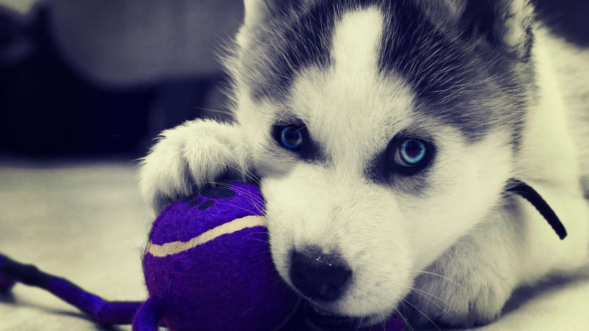 Siberian Husky Puppies Wallpaper HD 1080p Cute husky