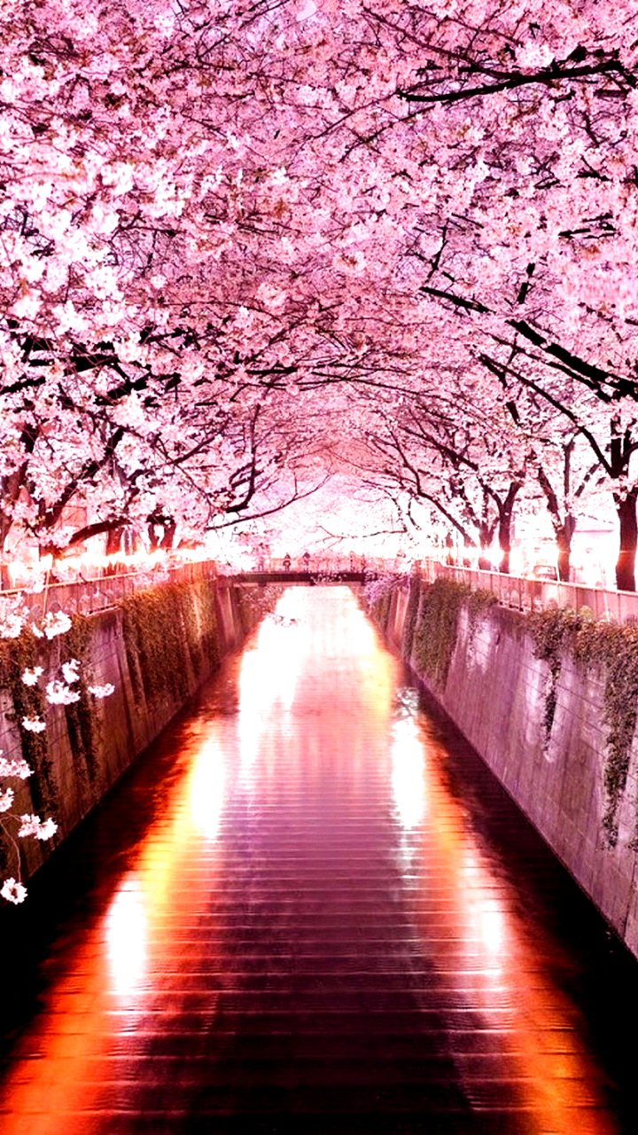 Wallpaper Pink Trees In Japan