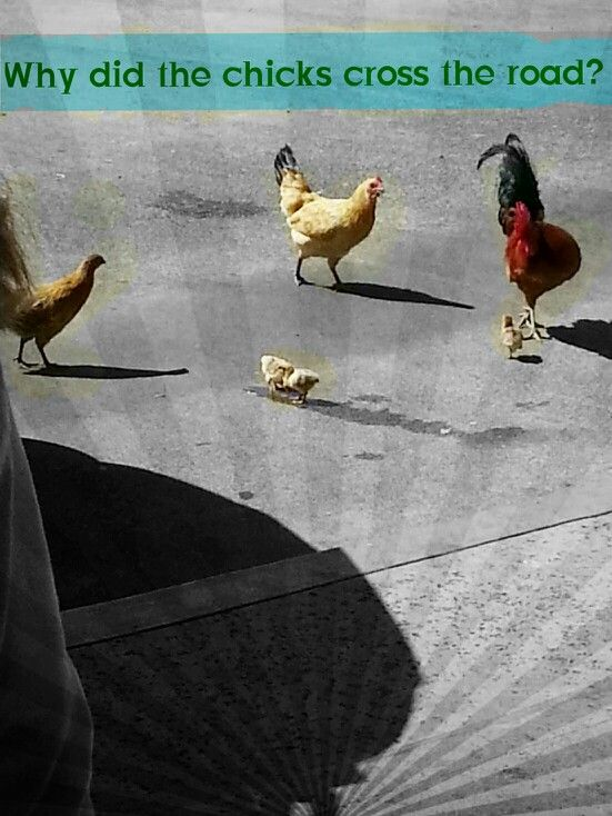Why did the chickens cross the road? Just a fun thing to edit I took the pic then edit it.