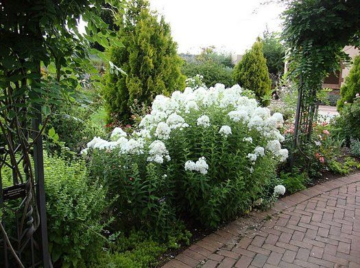 Phlox Paniculata David Jardins Paysage Et Fleurs