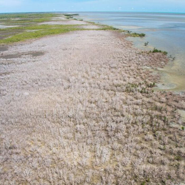 Warmer ocean temperatures could be the reason for huge areas of mangroves dying off in Queensland and the NT, researchers say.