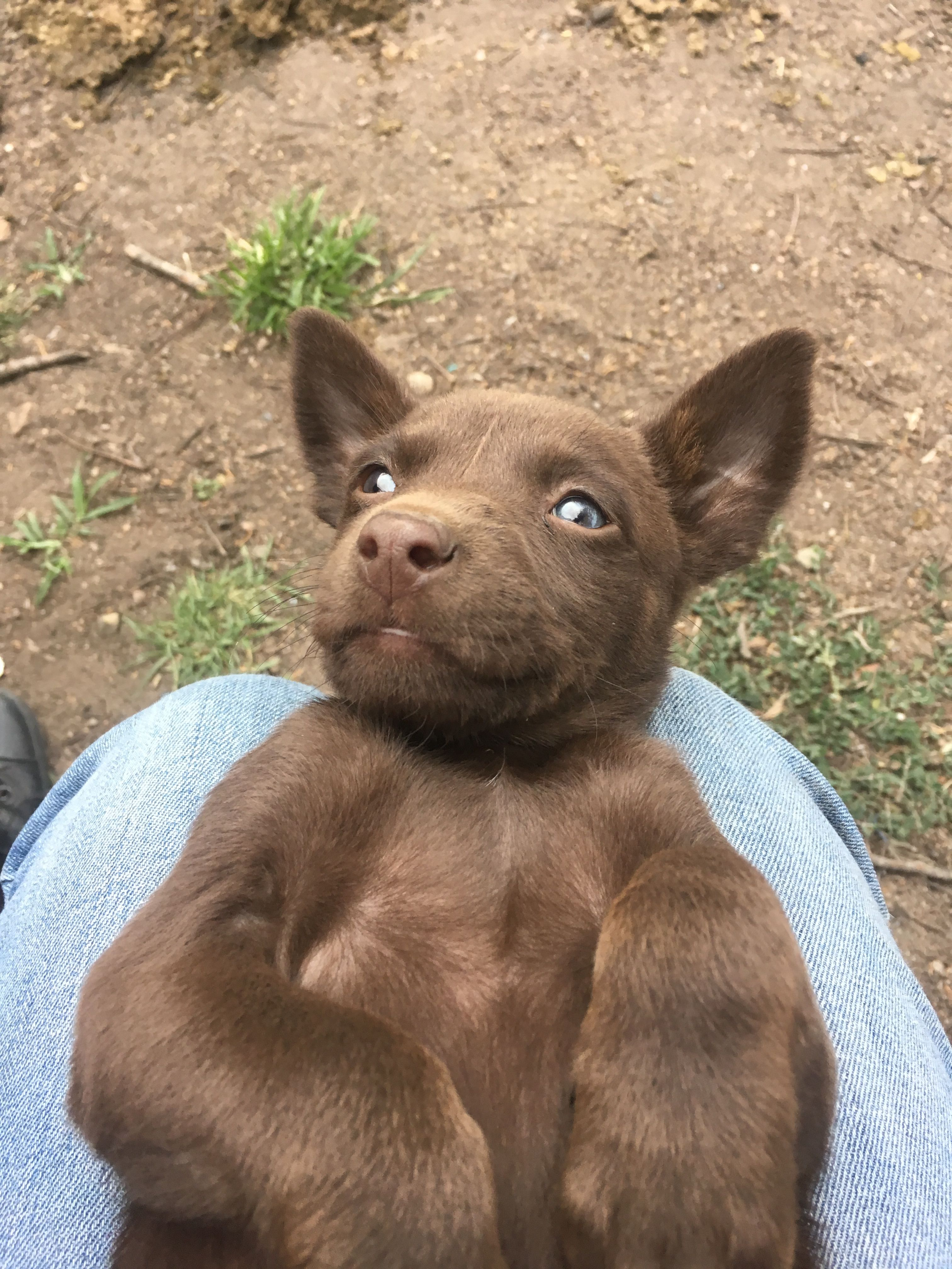 For Sale Kelpie Pups Males 300 Females 200 Pambula Nsw Australia Both Working Kelpie Parents Ring 0484 352 775 Pup Labrador Retriever My Pictures