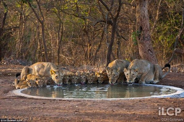 order in family likes Gir forest, Asiatic lion, Animals